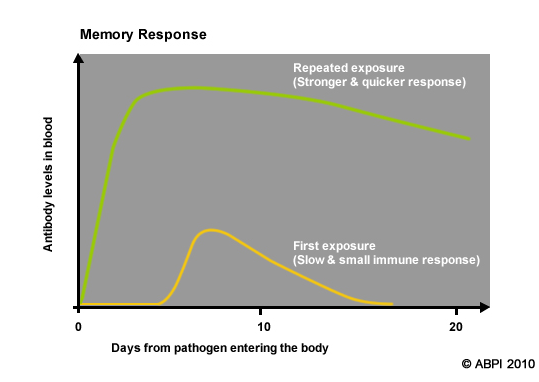 The first exposure to a pathogen gives only a slow and small immune response. Repeated exposure to the same pathogen gives a much stronger and quicker memory response.