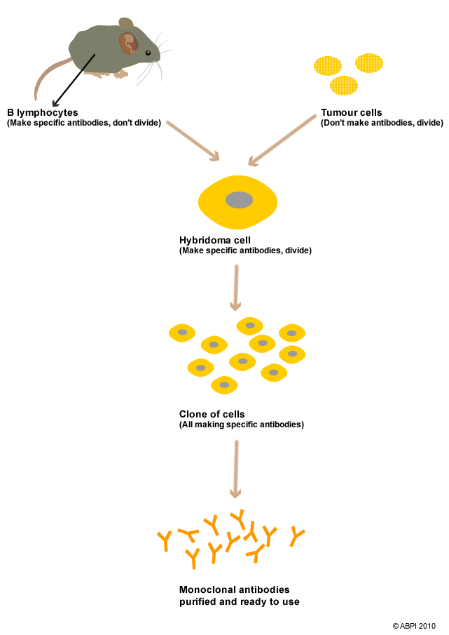 monoclonal antibodies What are antibodies for a lay person, the response might be that antibodies are special molecules in our blood and tissue fluids that help us fight infection.